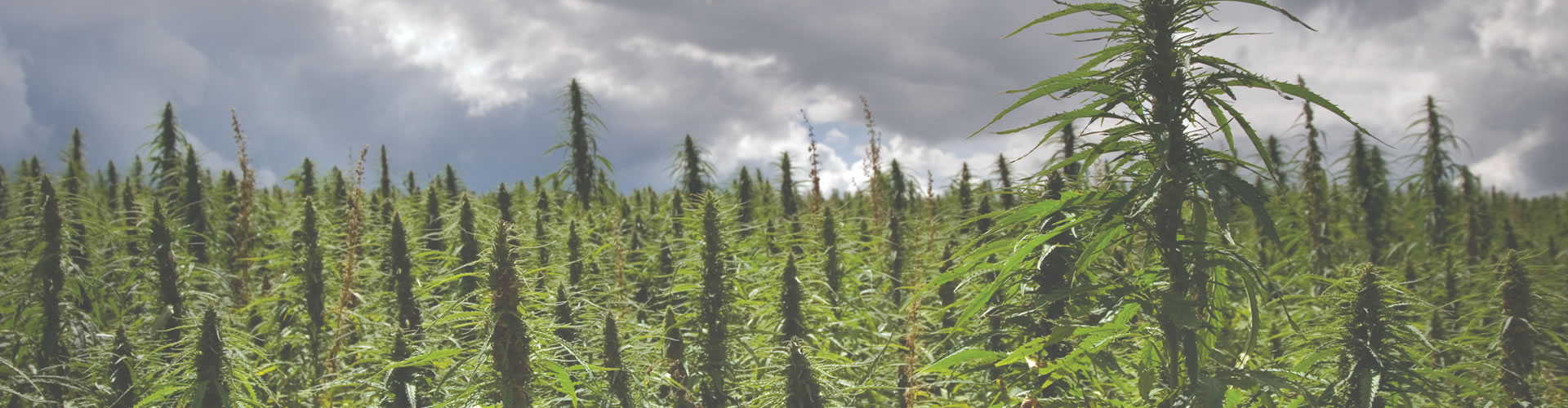 Industrial Hemp Cultivation Services